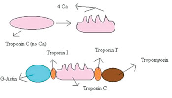 Image: Troponin T binds to tropomyosin and helps position it on actin, and with the rest of the troponin complex modulates contraction of striated muscle. In patients with stable coronary artery disease, troponin T concentrations have been found to be significantly associated with the incidence of cardiovascular death and heart failure (Photo courtesy of Wikimedia Commons).