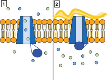 Image: The cystic fibrosis transmembrane conductance regulator (CFTR) channel protein controls the flow of H2O and Cl- ions into and out of lung cells. When CFTR is working correctly (Panel 1), these ions flow in and out. However, when CFTR is malfunctioning (as in Panel 2), these ions cannot flow out of the cell due to channel blockage, leading to the buildup of thick mucus in the lungs characteristic of cystic fibrosis (Photo courtesy of Wikimedia (user Lbudd14)).