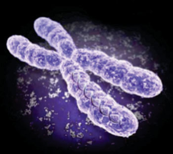 Image: Human males have a single copy of the X-chromosome (Photo courtesy of the University of North Carolina).