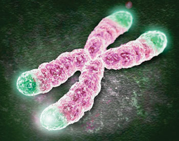 Image: Telomeres at the end of the chromosomes protecting against DNA deterioration (Photo courtesy of Dr. Joseph Raffaele, MD).